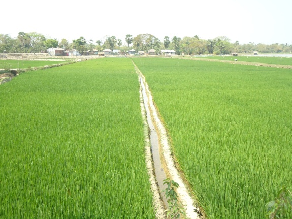 Two_paddy_fields_in_Khulna,_Bangladesh